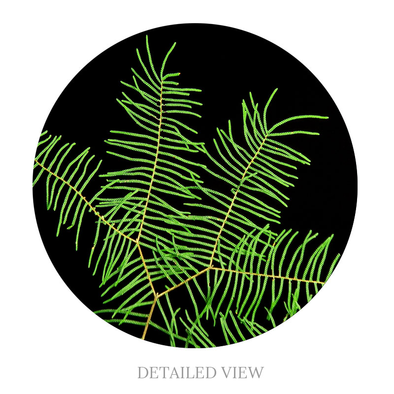 Detailed view of the Star fern