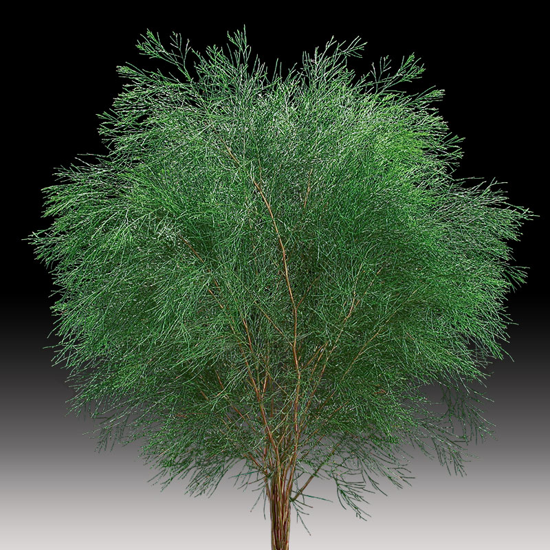 Bribie Pine, rich green foliage
