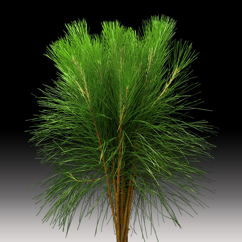Pine Tails are the young tips from the pine tree.