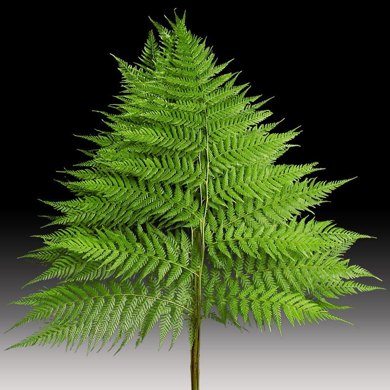Rainbow fern is a large luscious fern.