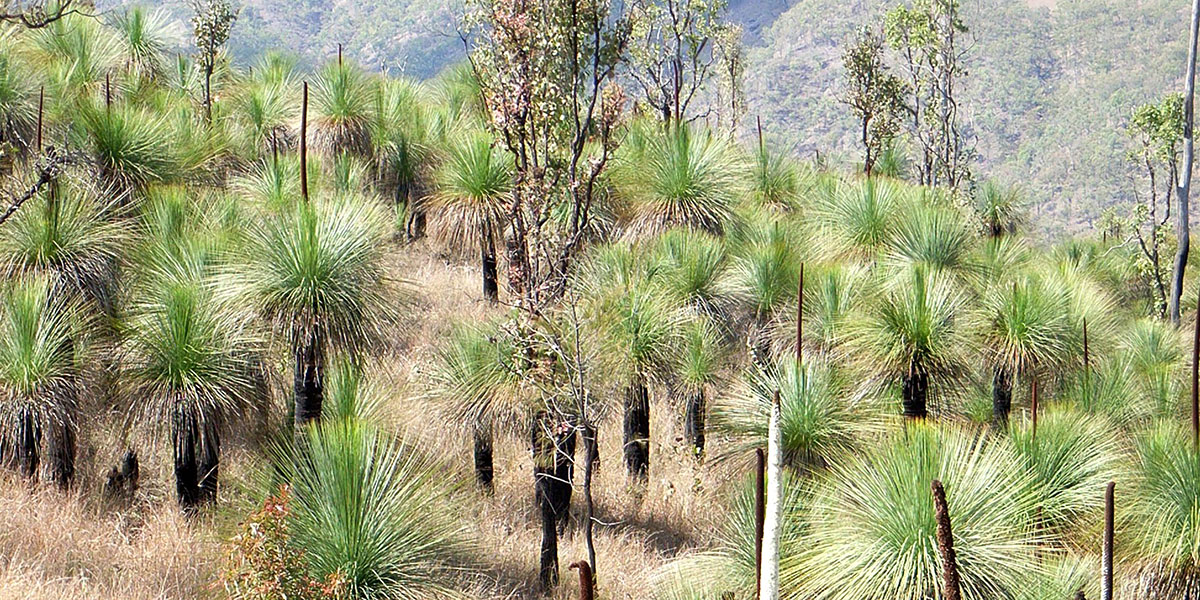 Steel grass patch, grass tree, kangaroo grass