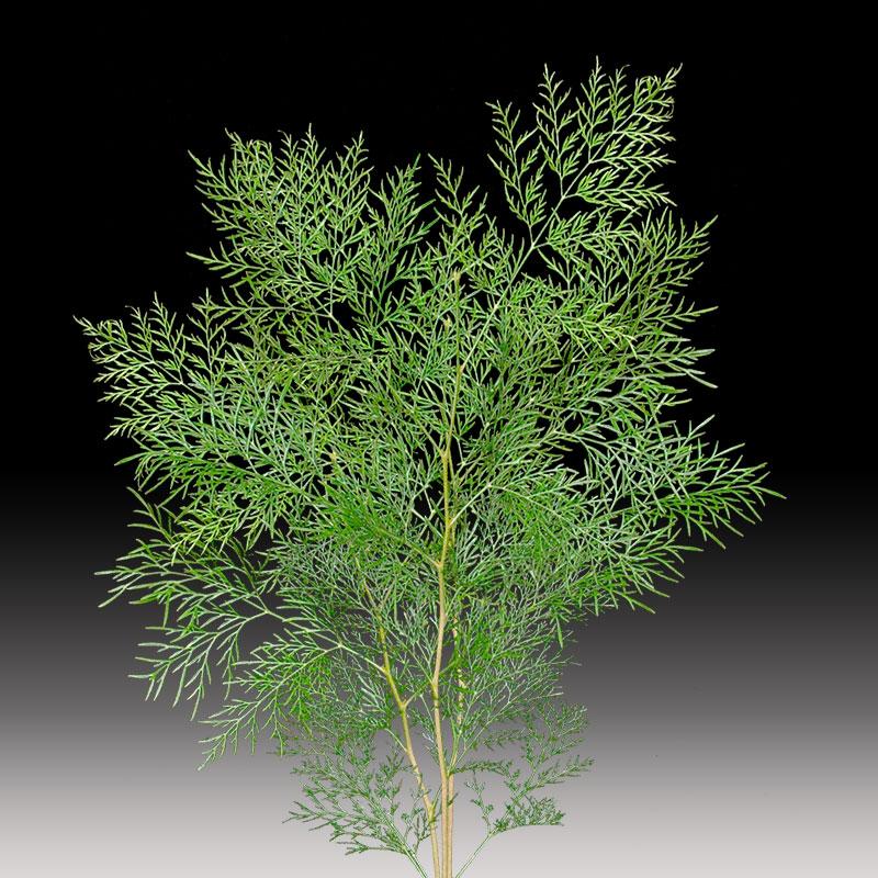 Stenocarpus product image
