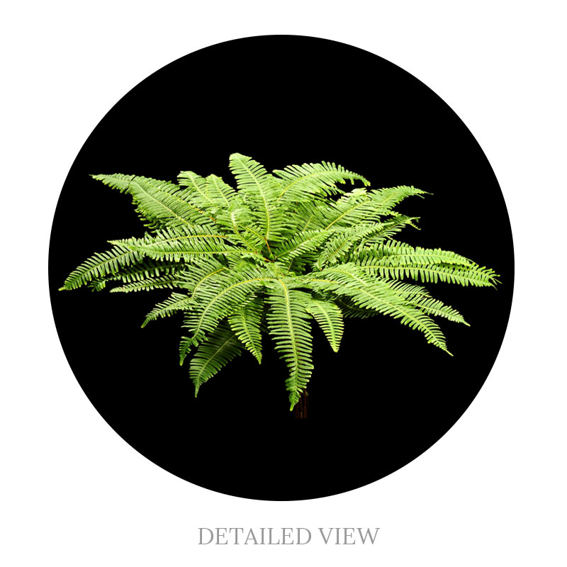 Plantation Umbrella Fern view from above.