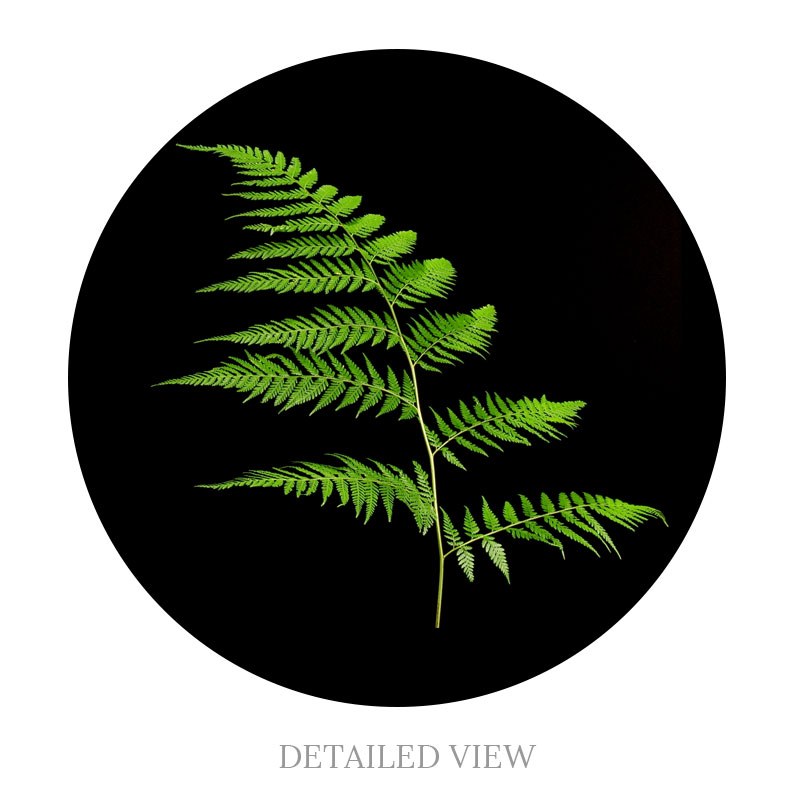 Detailed view of the Rainbow Fern.