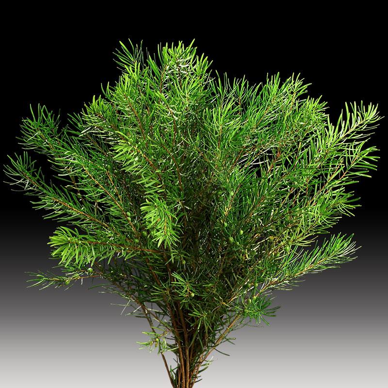 Sapphire Bush product image