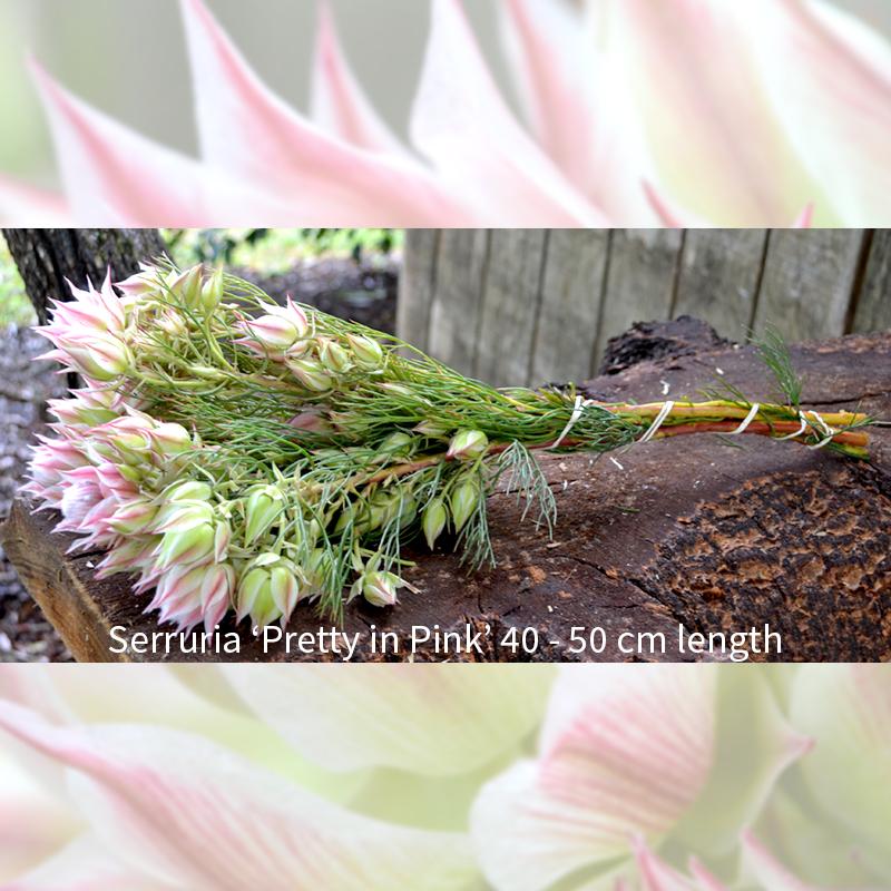 % stem bunch of Serruria pretty in pink