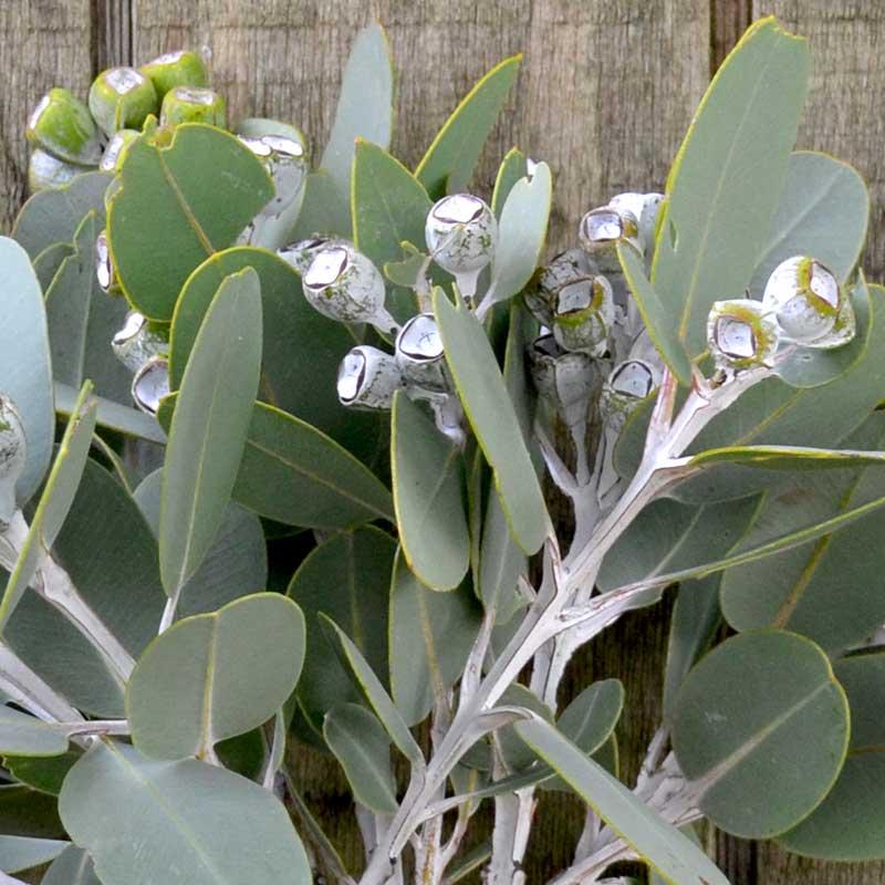 Close up image of tetragona nuts