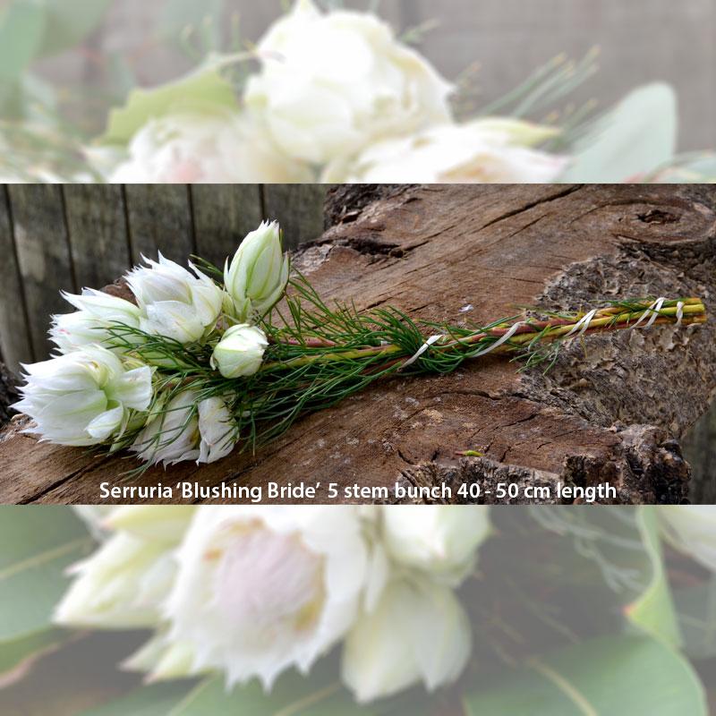 5 stem bunch of Serruria Blushing Bride