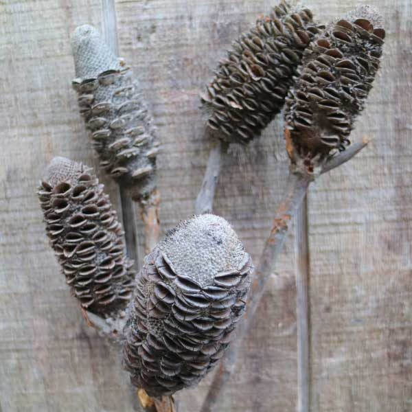 Banksia Sticks
