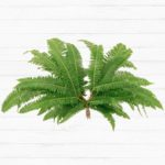 Broad Leaf Umbrella Fern™