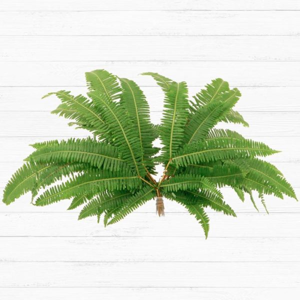 Broadleaf Umbrella Fern™