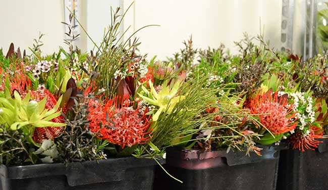 Beautiful mixed native bunches await their turn in the spotlight