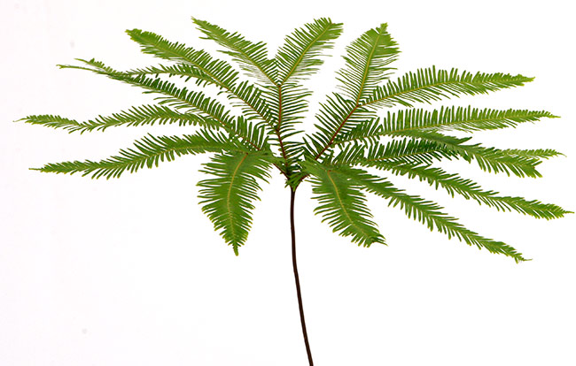 Single stem of Umbrella fern