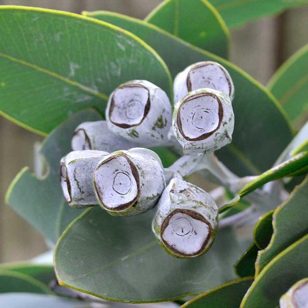 Tetragona Nuts