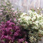 Waxflower varieties
