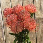 Leucospermum varieties