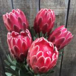 Protea varieties
